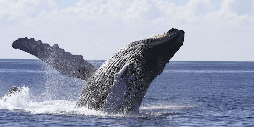 Best Ways To Whale Watch In Hawaii
